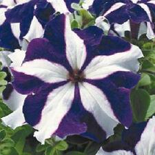 Petunia Seeds 50 Pelleted Seeds Ultra Blue Star Flower Seeds