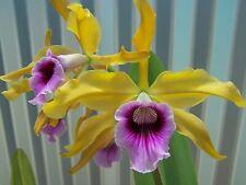 Laelia tenebrosa aurea Yellow Gold Hcc x Summertime orchid Select Cross cattleya