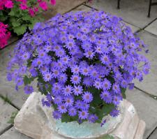 Senecio Senetti Baby Blue Jumbo Plug Plants x 3