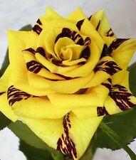 5 graines rosier rare jaune zebré