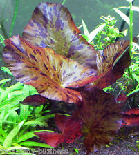 Nymphaea ZenkerI Red Tiger Lotus Bulb live aquarium Shrimp Moss