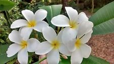 "Hawaiian Plumeria Frangipani (Lei Flower) Tropical Plant 9"" Cutting No Grow Tip"