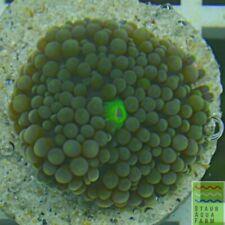 """New listing Saf~ """"Wysiwyg� Green Ricordia Mushroom Coral, Fungi, Soft, Sps"""
