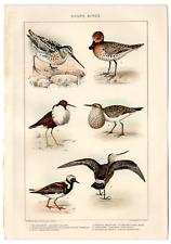 """Rare 1902 Antique Print Picture Shore Birds 10"""" X 6"""" Dodd Mead & Co. Animals"""