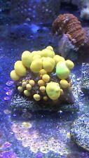 New listing Live Coral Wwc Og Bounce Mushroom Wysiwyg