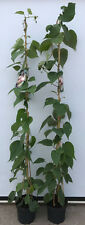 GIGANTESCO Kiwi Actinidia Chinensis 'HAYWARD' HASTA 200cm OLLA Cultivado 7 , 5l