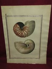 Large Antique Hand Colored Shell Seashell Print 18th Century