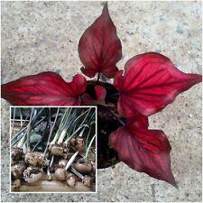 Caladium 1 Bulb Queen of the Leafy Plants /'/'Kaituangam/'/' Colourful Tropical