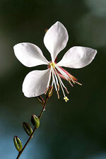 100 WHITE GAURA Whirling Butterflies Flower Seeds +Gift