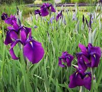 100pcs Iris Flower Seeds Mixed Perennial Fragrant Plant Bonsai Home Garden Decor