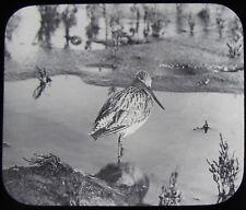 Glass Magic Lantern Slide BAR TAILED GODWIT C1900 PHOTO BIRD BIRDS