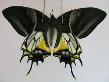 PA3127. Unmounted butterflies: Teinopalpus aureus shinkaii. North Vietnam.