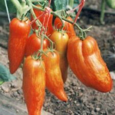 Rare Seeds Tomato Pertsevidnyy Polosatyy Pepper Striped Roman Russian Heirloom