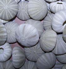 12 large -  GREEN SEA URCHINS   SEASHELLS Shell CRAFTS WEDDINGS Decor