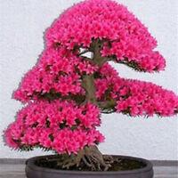BIN 20pcs Cherry Blossom Bonsai Tree Seeds, Japanese Sakura Fower Seed