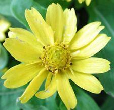 LEMON DELIGHT Melampodium mass daisy yellow flowers plants 4cell seedling punnet