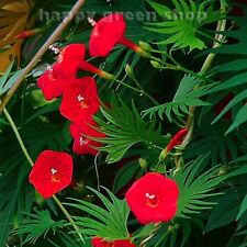 MORNING GLORY RED - CYPRESS VINE 100 seeds  Ipomoea quamoclit CLIMBING FLOWER