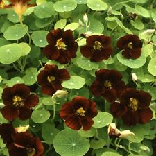 Nasturtium - Black Velvet - 30 Seeds