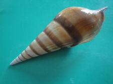 "Sea Shell Seashells 4.6"" Tibia Curta Shell"