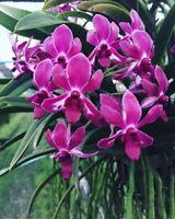 Rare Blooming Size Compact Vanda Vandachostylis Pinky Live Orchid Plant Mini