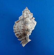 Coquillage : Phyllonotus pomum, Martinique - 112 mm