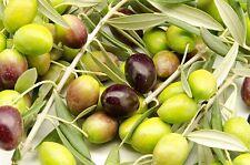 Toscana Brown Olea Europaea Olive Tree Seeds 5 PCS RARE VARIETY!