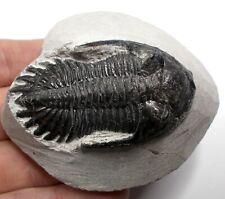 More details for fossil trilobite hollardops devonian age morocco fossils trilobites ref ws2.hl6