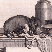Gravure XVIIIe Hippopotame Hippopotamidae Hippopotamuses Flusspferde Foetus