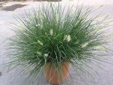 Graminacee - Pennisetum Little Bunny vaso 14 (OFFERTA 25 piante)