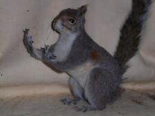 The Flippen Squirrel Mount