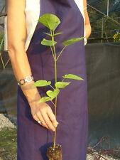CATALPA SPECIOSA alveolo Albero dei sigari Albero dei totem Indian Bean Tree