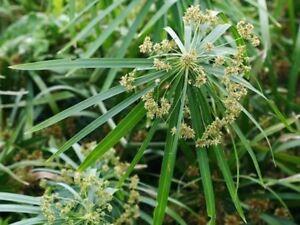 Umbrella plant papyrus grass Pond plant 60+ Seeds