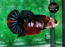 LIVE BETTA FISH FEMALE RED BLACK KOI GALAXY FANCY HALFMOON PLAKAD HMPK (PKF35)