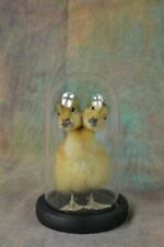 Taxidermy 2 headed yellow duckling mounted in glass dome birthday gift display