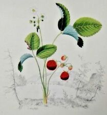 "Vintage Hand Colored Lithograph ""Wild Strawberry"" by Edwin Whitefield 7"" x 9.25"""