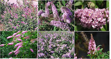 Pink Delight Butterfly Bush Budhelia Shrub Flowering Tree Over 100 Seeds