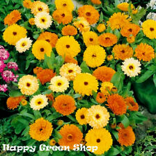 POT MARIGOLD FIESTA GITANA DWARF MIX - 300 SEEDS - Calendula officinalis  FLOWER