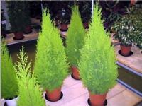 50 Seeds THUJA TREE Seeds tree garden hedgerow Thuja Occidentalis