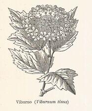 B3274 Viburnum tinus - 1931 xilografia d'epoca - Vintage engraving - Gravure