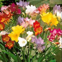 20 FREESIA MIXED SUMMER FLOWERING GARDENING BULBS
