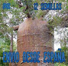 EL ARBOL MAS ANCHO DEL MUNDO BAOBAB BONSAI 12 semillas seeds A06