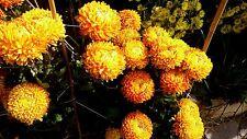 "Chrysanthemum ""John Harrison"" x 1 plant.Light bronze color, Intermediate disbud"