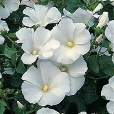 20+ WHITE LAVATERA FLOWER SEEDS / ROSE MALLOW / PERENNIAL EARLY SPRING BLOOM