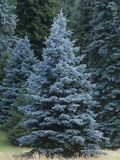50 x Blue Spruce Picea Pungens Glauca Tree seeds Colorado evergreen xmas