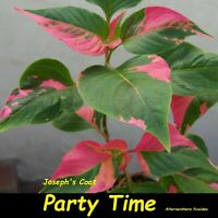 ~PARTY TIME~ Alternanthera COLORFUL POTTED Starter sml Plant NOT BareRoot (Yuck)