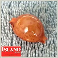 GIANT! Cypraea globulus #6 22.2mm, EXQUISITE BEAUTY from the Philippines