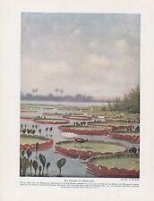 Riesenseerose Victoria cruziana FARBDRUCK von 1912 Seerosenwater  water-lilies