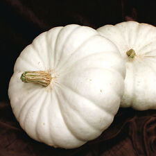 Pumpkin Seeds, WHITE FLAT BOER FORD, 5 Heirloom, non-gmo Seed FREE SHIPPING