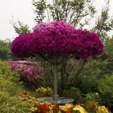 6 spreading petunia seeds WAVE PURPLE CLASSIC The best for baskets, groundcover