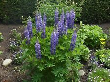 LUPINUS  ARBOREUS BLUE TREE LUPIN -  10 TESTED VIABLE SEEDS EASY GERMINATION